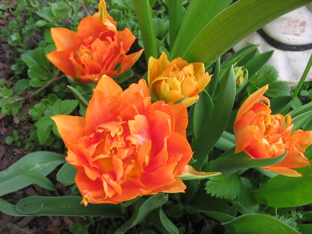 Orange Frühlingsblumen zu Ostern im Garten